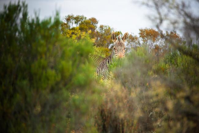 A zebra in Cederberg mountains
