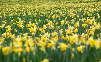 Daffodil fields, Gérardmer